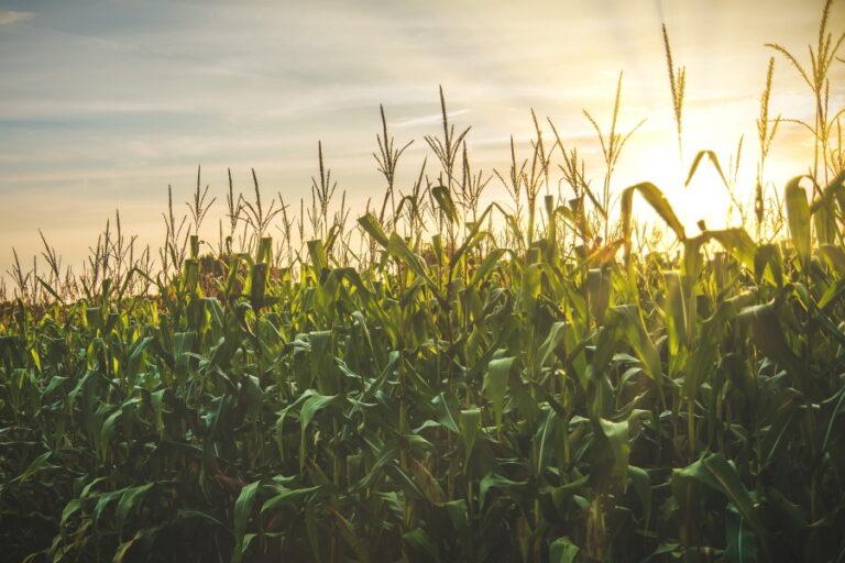 corn field with sun